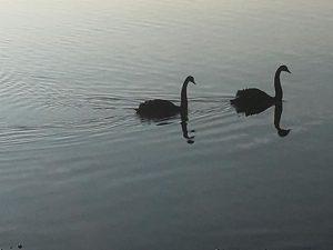 black swans hamworthy park